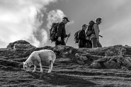 Sheep and people hiking