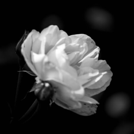 Foto per White flower in black and white - Immagine Royalty Free