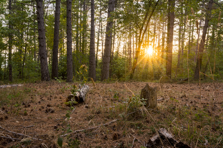 Foto per Woodland at sunset - Immagine Royalty Free