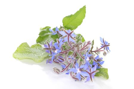 a sprig of fresh borage with leaves and flowers on a white background