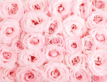 Pink fresh roses background