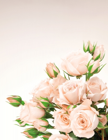 Fresh pink roses border, beautiful isolated flowers