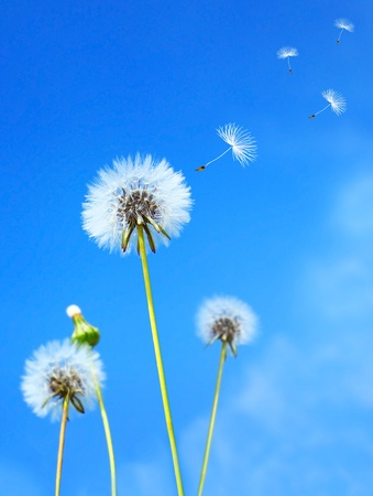 Photo pour Dandelion flower field over blue sky - image libre de droit