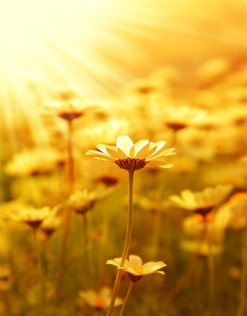 Fresh daisy flower field background at sunny spring day, sunset macro outdoor scene