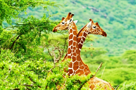 Foto de African giraffes family, two animals fighting with necks, beauty of wildlife, safari travel - Imagen libre de derechos