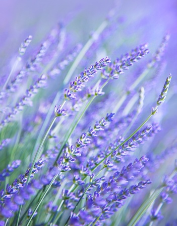 Lavender flower field, fresh purple aromatic wildflower, natural background, macro with soft focus