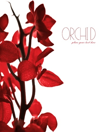 Red fresh orchid flower border isolated on white background, with text space