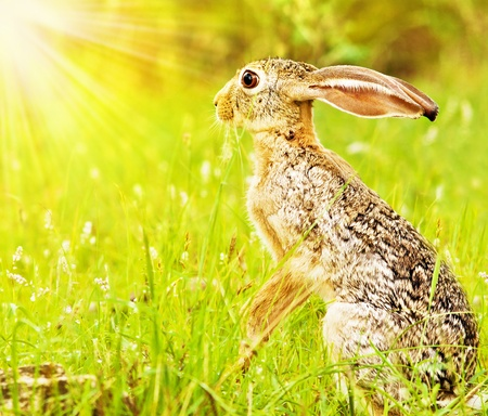 Wild african hare, sitting on the flower field, game drive, wildlife safari, animals in natural habitat, beauty of nature, Kenya travel, Masai Mara