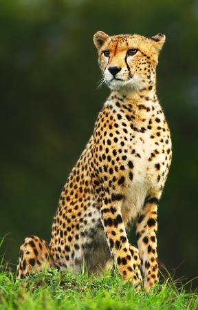 Wild african cheetah portrait, beautiful mammal animal, endangered carnivore, Africa. Kenya. Masai Maraの写真素材