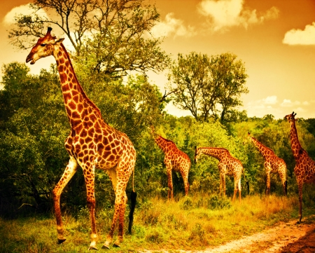 Photo pour Image of a South African giraffes, big family graze in the wild forest, wildlife animals safari, Kruger National Park, bushes of Sabi Sand game drive reserve, beautiful nature of Africa continent - image libre de droit