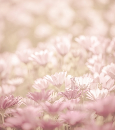 Pink abstract floral background, daisy flowers, soft focus, spring nature, blooming meadow, shallow depth of field