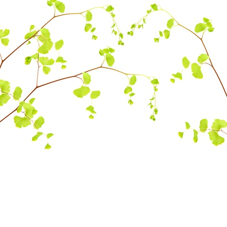 Fresh tree branch border, tree twig with beautiful green leaves isolated on white background, spring time season