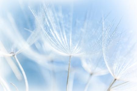 Macro of abstract dandelion background, nature detail, spring season, blooming flowers, soft focus