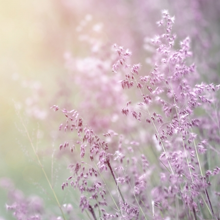 Background of beautiful lavender color flower field, fresh gentle purple wildflowers in sunny day, soft focus, summer time season