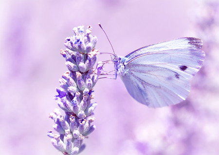 Gentle butterfly with light purple wings sitting on lavender flower, detail of flora and fauna, amazing wild nature concept