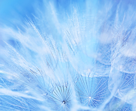 Abstract flower background, macro photo of a gentle blue dandelion backdrop, beauty of nature, spring time season