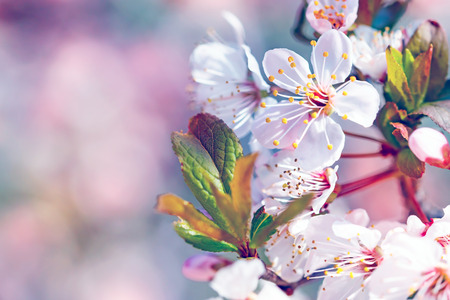Beautiful fruit tree blooming, gentle flowers border over pink blurry background, copy space, first spring time cherry blossom