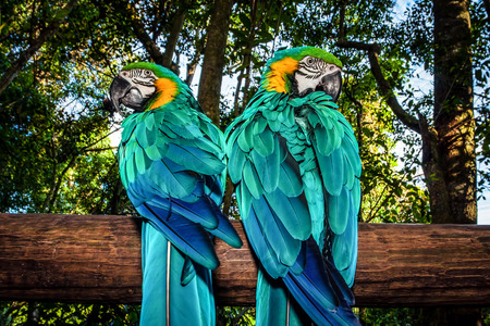 Photo pour Photo of a South African beautiful bird, two big colorful macaw parrot in the forest sitting on the tree and looking to different sides, parakeet with blue wings, wild animals, Ara portrait, wildlife - image libre de droit