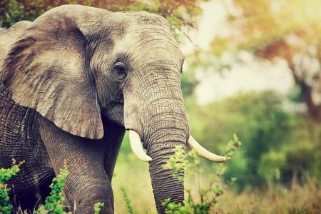 Portrait of a big beautiful elephant outdoors, wild animal