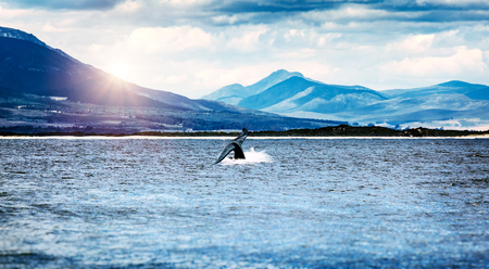 Whale tail in the Atlantic ocean over mountains background, wild animals safari, beautiful nature of the Hermanus city, South Africa