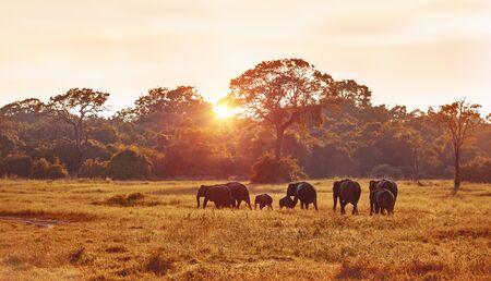 Foto de Safari, wild elephant family grazing on great grass field at the evening in mild sunset light, wildlife photography, beautiful nature of Sri Lanka - Imagen libre de derechos