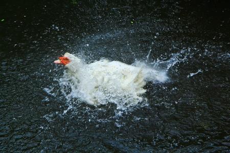 Duck in Thailand