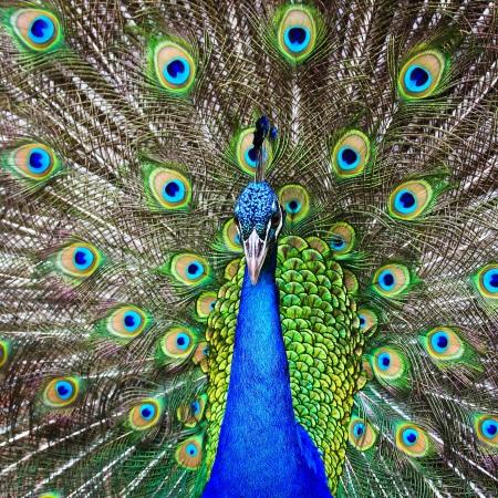 green beautiful peacock