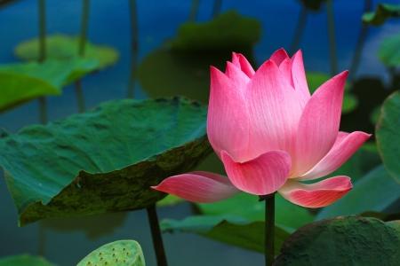 Photo pour Beautiful lotus pink background - image libre de droit
