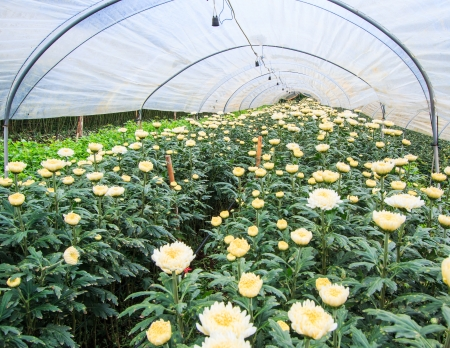 Chrysanthemum farm at Doi Inthanon National park in Chiang Mai, Province Asia Thailand