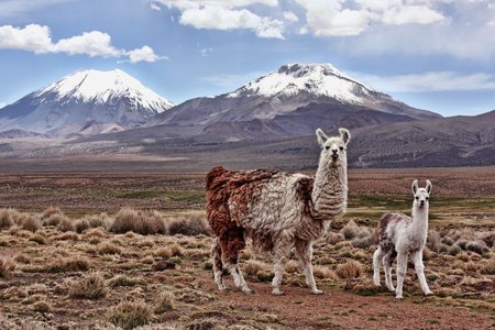 Photo pour A bably llama and its mother look into the lens with a mountain in the background on the Bolivian Altiplano - image libre de droit