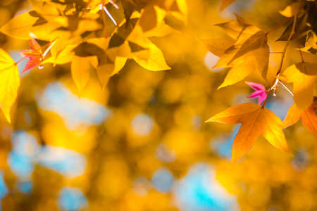 Photo pour Beautiful golden yellow maple leaves on the natural background blur outdoor blurred Bokeh Abstract style - image libre de droit