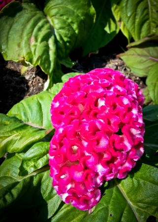 cockscomb or chinese wool flower or celosia argentea l  var  cristata  l   kuntze