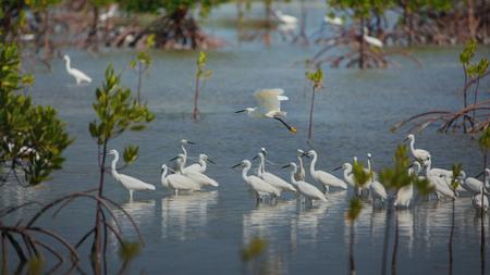 Photo pour Little egrets migrate birds at philippine Olango island bird sanctuary while bird watching - image libre de droit