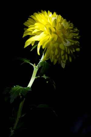 yellow chrysanthemum on a black background big beautiful flower