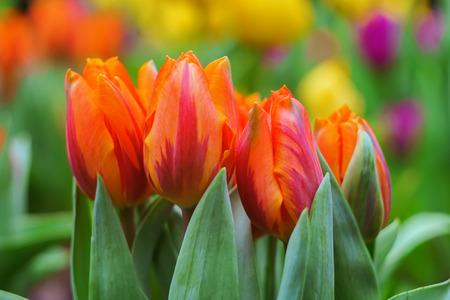 Photo pour Tulips spring flowers rest saturated shine step - image libre de droit