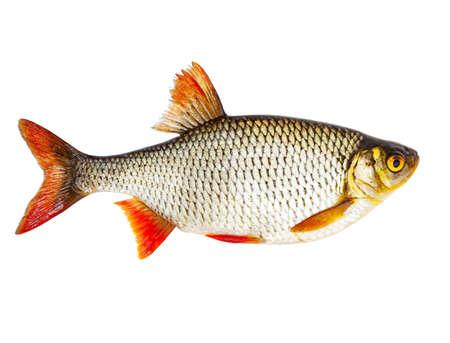 Photo for Fresh raw fish rudd isolated on white background - Royalty Free Image