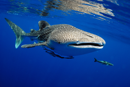 Foto de Whale shark is a big fish in the sea. - Imagen libre de derechos