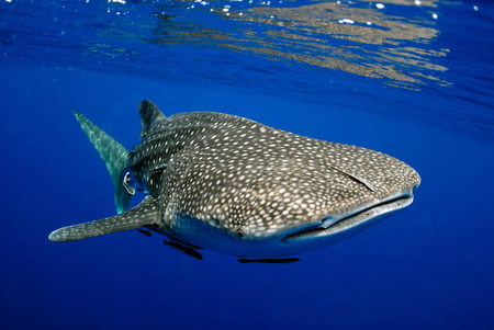 Photo for Giant sea whale shark. - Royalty Free Image