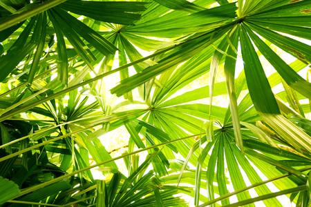 Photo pour tropical Fan Palm leaf texture.forest and environment concept - image libre de droit