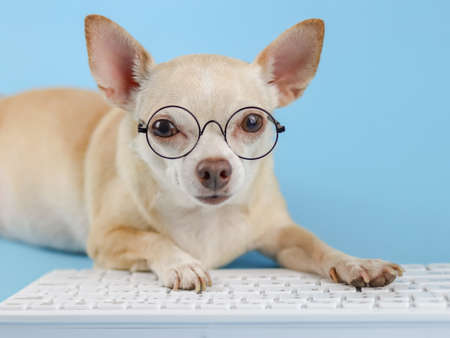 Photo pour Close up image of brown Chihuahua dog wearing eye glasses,  typing on computer keyboard and looking at camera. Blue background. - image libre de droit