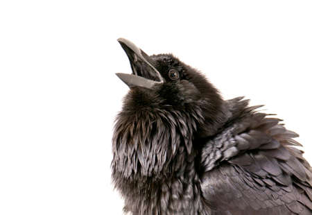 Photo pour Common Raven with beak open in rouse isolated on white with copy space. - image libre de droit