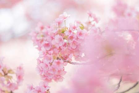 Izu Kawazu Cherry Blossom Festivalの素材 [FY310155128245]