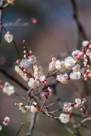 Red plum blossoms in the plum garden of Ko kanai parkの素材 [FY310167191141]