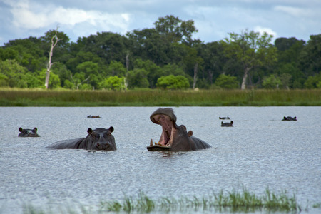 Photo pour Hippopotamus with open mouth in the Moremi Game Reserve (Okavango River Delta), National Park, Botswana - image libre de droit