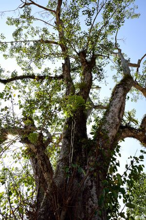 The large deciduous tree is considered sacred by the followers of Hinduism and Buddhism.
