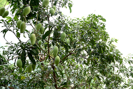 A mango tree with evergreen leaves and numeerous fruits.