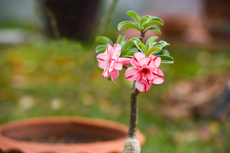 The brightly pink flowers of the desert rose with poisonous sap and swollen stem.