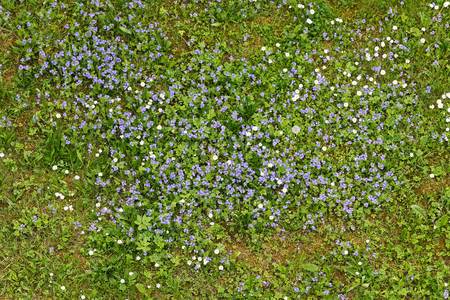 Photo pour Forget-me-not flowers blooming in the green grass. Blooming little blue meadow flower - image libre de droit