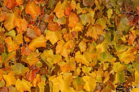 Autumn vine leaves