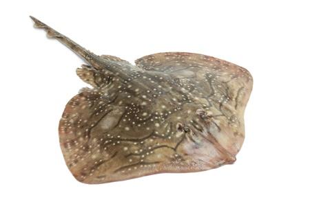 Photo pour Fresh ray fish on white background - image libre de droit